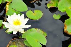有白色有背景的莲花是莲花 免版税图库摄影