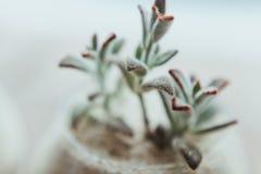 有白色沙子和多汁植物的装饰玻璃花瓶 图库摄影