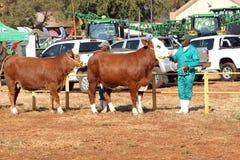 有白色的布朗在头Simmentaler母牛由经理照片带领 库存图片