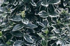 有白色边缘的绿色叶子 库存图片