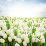 有白色郁金香的绿色草坪 图库摄影