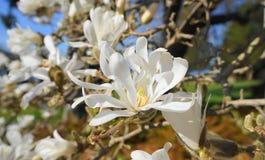 有白花的华丽和美丽的木兰stellata开花 木兰星树 库存图片