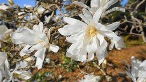 有白花的华丽和美丽的木兰stellata开花 木兰星树 免版税库存图片