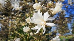 有白花的华丽和美丽的木兰stellata开花 木兰星树 图库摄影