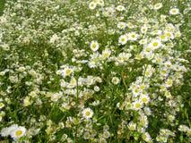 有白花的夏天草甸 免版税图库摄影