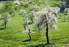 有白花的果树园在春天 免版税库存照片