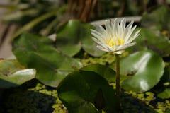 有白花的睡莲叶 免版税库存照片