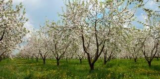 有白花的苹果树开花 免版税库存照片