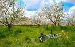 有白花的苹果树开花 免版税图库摄影