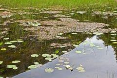 有百合的池塘 库存图片