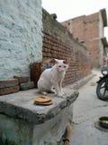 有的小猫平衡快餐美丽的白色小猫 图库摄影
