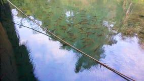 有的很多好的橙色尾巴鱼无危险蓝色河 库存照片