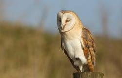 有的谷仓猫头鹰(晨曲的Tyto)显示在它的眼皮的白天小睡羽毛 免版税库存照片