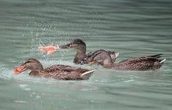 有的鸭子晚餐的三文鱼 免版税库存照片
