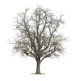 仅有的结构树 免版税库存照片