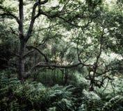 有盖地面和老扭转的树的蕨的深绿朦胧的森林用发光的光,虽然森林地机盖 库存图片