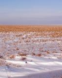 有盛开的雪的玉米田 库存图片