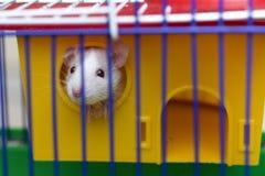 有看从明亮的黄色笼子的发光的眼睛的滑稽的年轻白和灰色温驯的好奇老鼠仓鼠婴孩通过酒吧 ?? 免版税库存图片