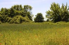 有矢车菊和鸦片的草甸 库存图片