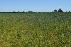 有矢车菊和鸦片的草甸 免版税库存图片