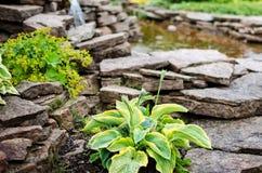 有石头的玉簪属植物接近和池塘 库存照片