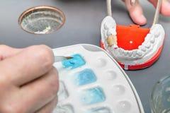 有研究陶瓷牙齿模型的刷子的牙医手 图库摄影