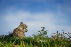 有福地吃的灰鼠 库存图片