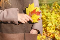 有秋叶在手中和秋天黄色槭树雀鳝的少妇 图库摄影
