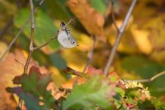 有秋叶的红宝石被加冠的小王 库存照片