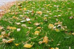 有秋叶的绿色草坪 翠菊许多秋天的紫红色心情粉红色 秋天背景特写镜头上色常春藤叶子橙红 库存图片