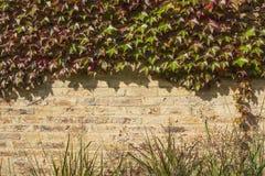 有秋天葡萄叶子的砖墙 免版税库存照片
