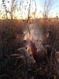 有种子的一家Asclepius Curassavica厂Seedpod在秋天的日落期间 免版税库存图片
