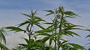 有种子的大麻漂白亚麻纤维的植物在蓝天背景 图库摄影