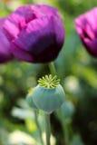 有种子的鸦片头与一朵紫色鸦片花 免版税库存照片