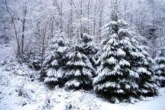 有积雪的树和降雪的冬天森林 免版税库存照片