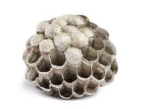 有空和被占领的细胞的干燥大胡蜂巢,被隔绝 库存照片