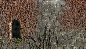 有窗口和常春藤的(米兰,意大利)墙壁 图库摄影