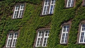 有窗口的老墙壁长满与野生绿色植物 外部设计,室外庭院背景 免版税库存照片