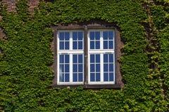 有窗口的老墙壁长满与野生绿色植物 外部设计,室外庭院背景 免版税库存图片