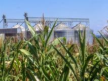 有筒仓的玉米种植园在背景中 库存照片