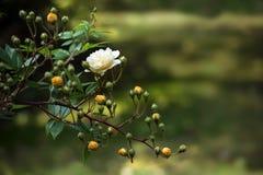 有精美玫瑰和芽的枝杈在明亮的黄色杏子& x28; Hybr 免版税图库摄影