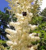 有精美芳香的一棵用花装饰的植物吸引昆虫 库存照片
