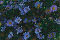 有紫罗兰色庭院花和绿色叶子背景的布什 库存照片