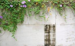 有紫色花和常春藤的老水泥墙壁 库存照片