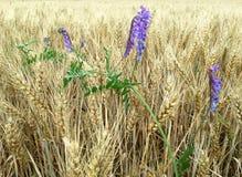 有紫色花的玉米田 库存照片