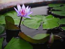 有紫色莲花和叶子的水罐 库存照片