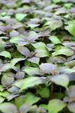 有紫苏植物的庭院 免版税图库摄影