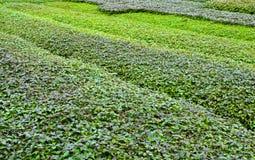 有紫苏植物的庭院 库存照片