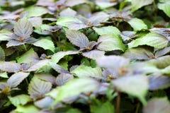 有紫苏植物的庭院 免版税库存照片