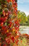 有红色叶子的上升的植物在秋天 免版税图库摄影